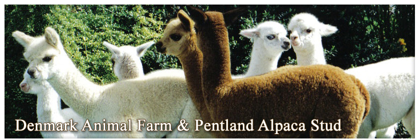 Alpaca Stud & Animal Farm - seven alpacas