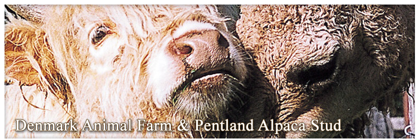 Pentland Alpaca Stud & Animal Farm - Camel snuggling